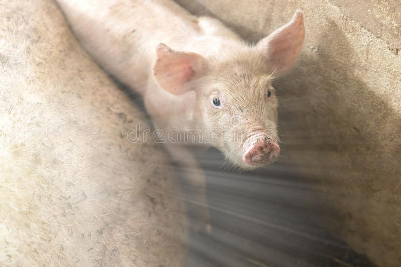 Soft focus of cute newborn piglet in organic rural farm agricultural with sunshine effect stock photos