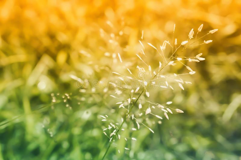 Soft focus  grass flower under sunlight  abstract  spring nature background royalty free stock image