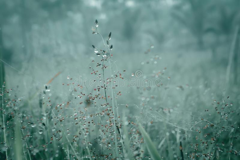 Soft focus grass flowers field with dew drops in sunrise morn royalty free stock photo