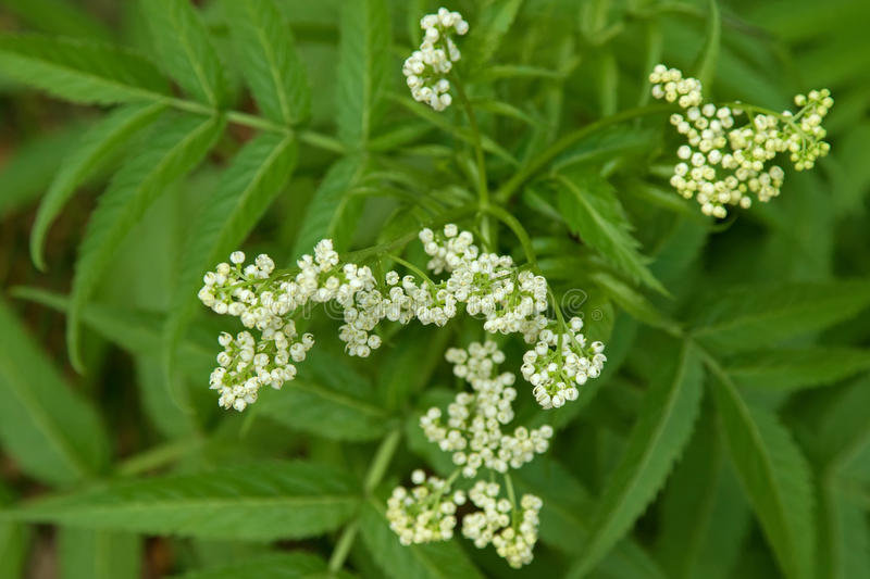 Soft focus of home grown White Elderberry plant with white flowers stock photos