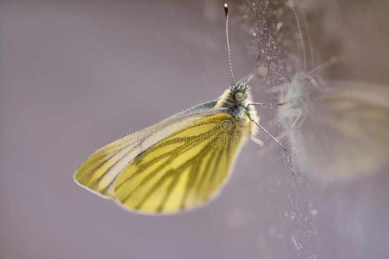 Green veined white butterfly and reflection. stock photo