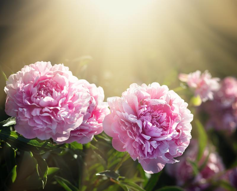 Pink and white peonies in the garden. Soft focus image of pink and white peonies in sun light. Blooming pink and white peonies. Selective focus. Shallow depth of royalty free stock photography