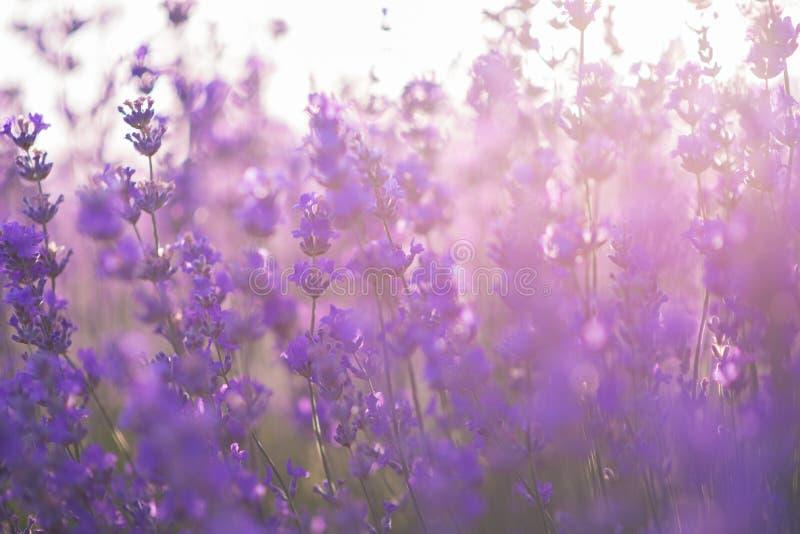 Soft focus of lavender flowers under the sunrise light stock images