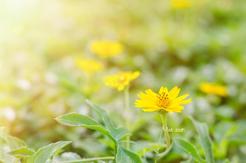 Soft focus of little yellow star flowers royalty free stock images