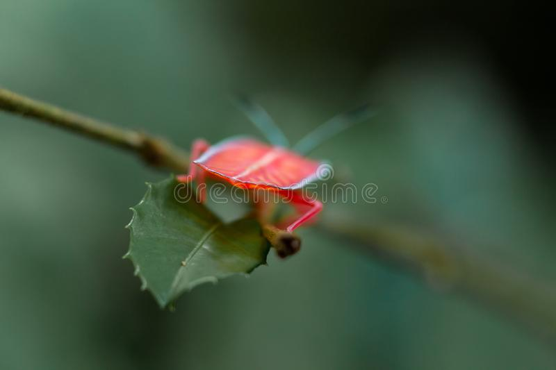 Soft focus. Longan stink bug on green leaf in tropical forests from phuket, thailand.Tessaratoma papillosa stock photography
