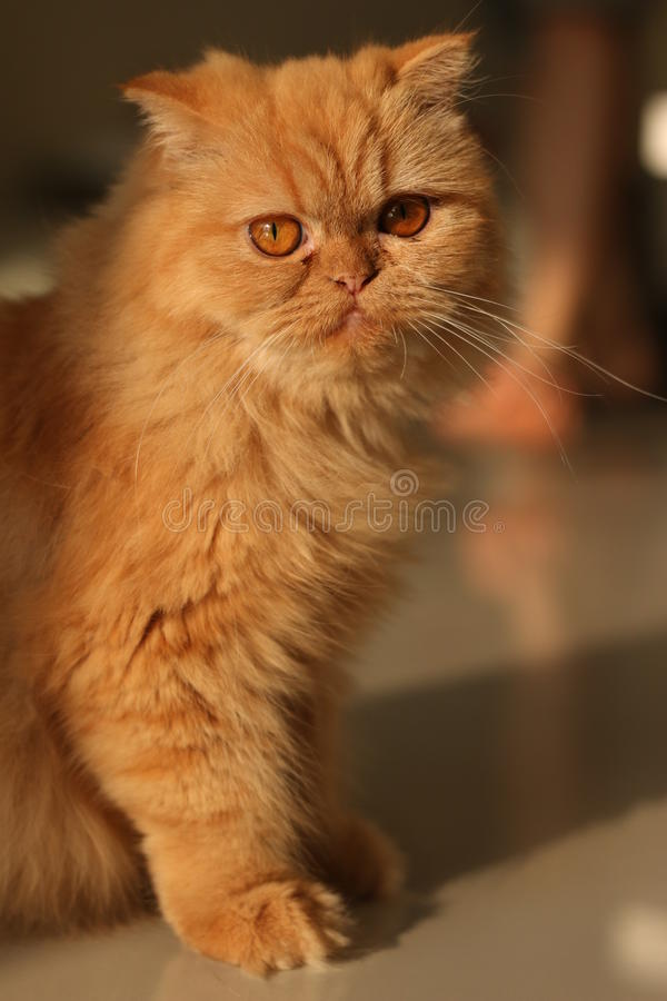 Soft focus lovely ginger cat royalty free stock photography