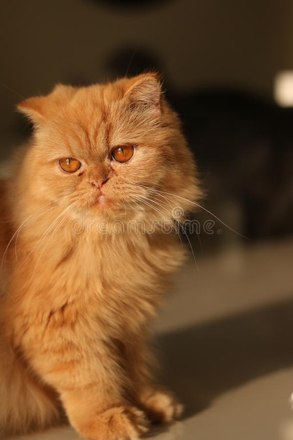 Soft focus lovely ginger cat royalty free stock image