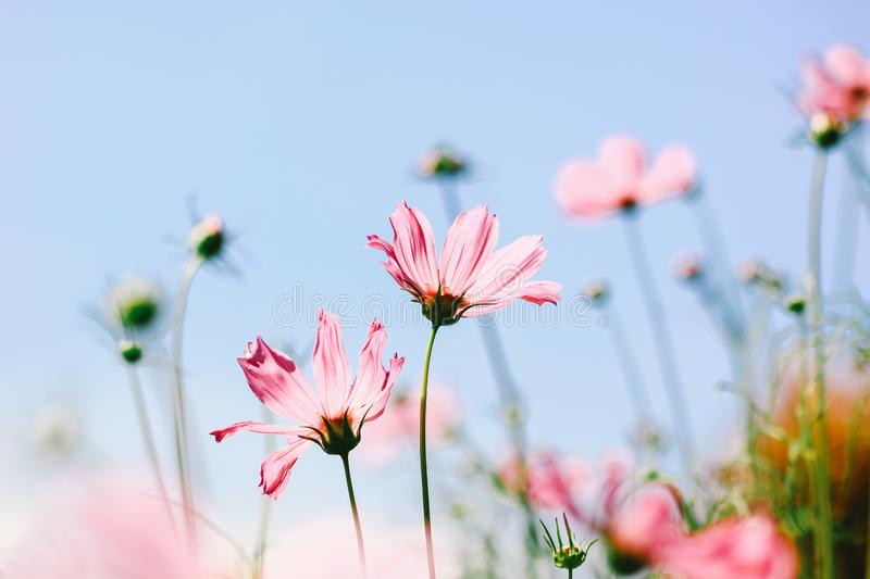 Soft focus of pink cosmos flower on pastel color style for background royalty free stock images