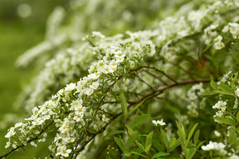 Soft focus. Spirea is an ornamental shrub from the Rosaceae family royalty free stock image
