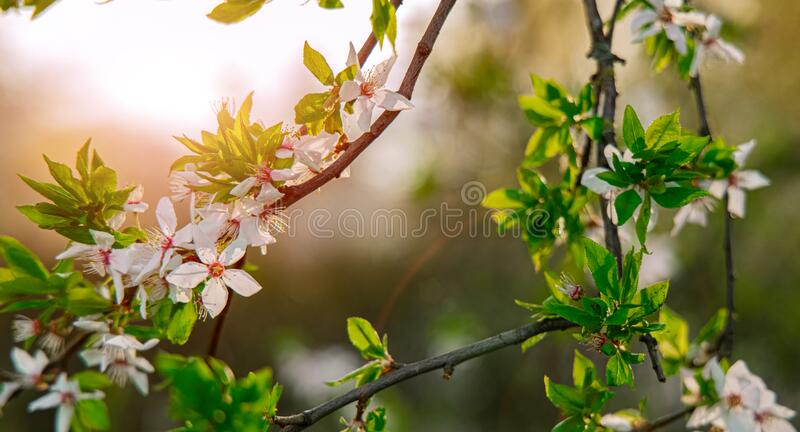 Soft focus spring blossom tree foliage green leaves and white flowers in bright sun light glare behind seasonal post card. Picture royalty free stock photos