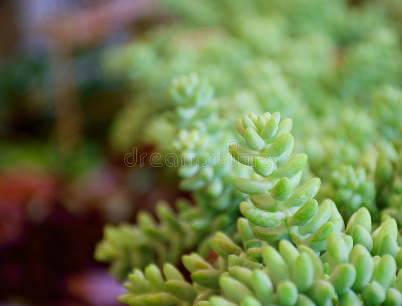 Soft focus to group of same type of Succulent Plants. Soft focus to line with group of Succulent Plants (selective focus on top of middle plant stock images