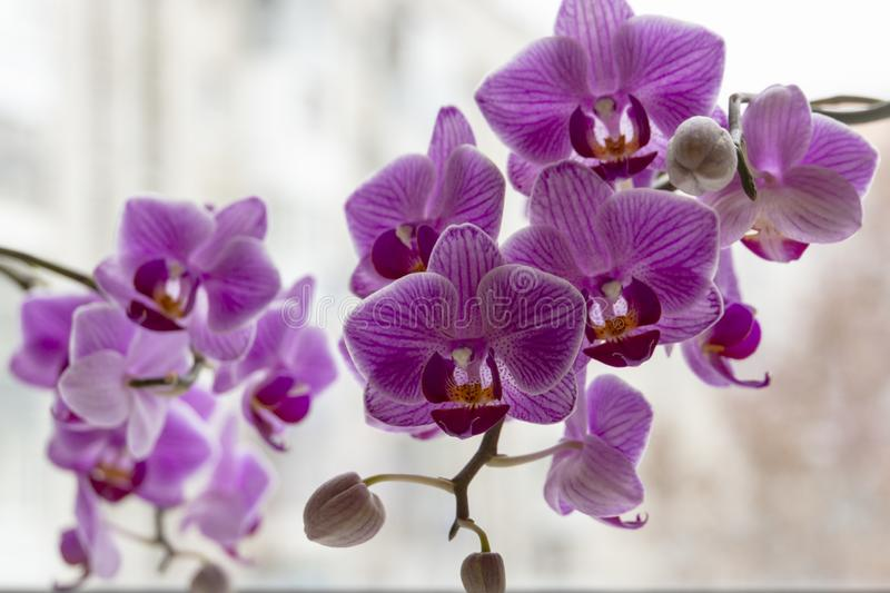Soft focus of two branches of striped purple mini orchids Sogo Vivien. Phalaenopsis, Moth Orchid are located against the light on stock image