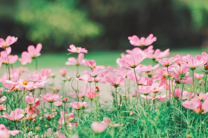 Soft focus vintage tone beautiful cosmos flower in the field on natural green background.  stock photo