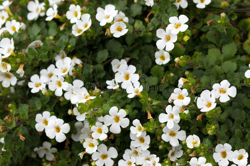 Soft focus of white Ornamental Bacopa flower with yellow pollen royalty free stock photography