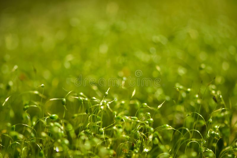 Soft focused close-up shot of green moss seeds with bokeh, blurred shining light stock photos