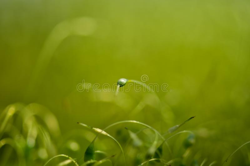 Soft focused close-up shot of green moss seeds with bokeh, blurred shining light royalty free stock image