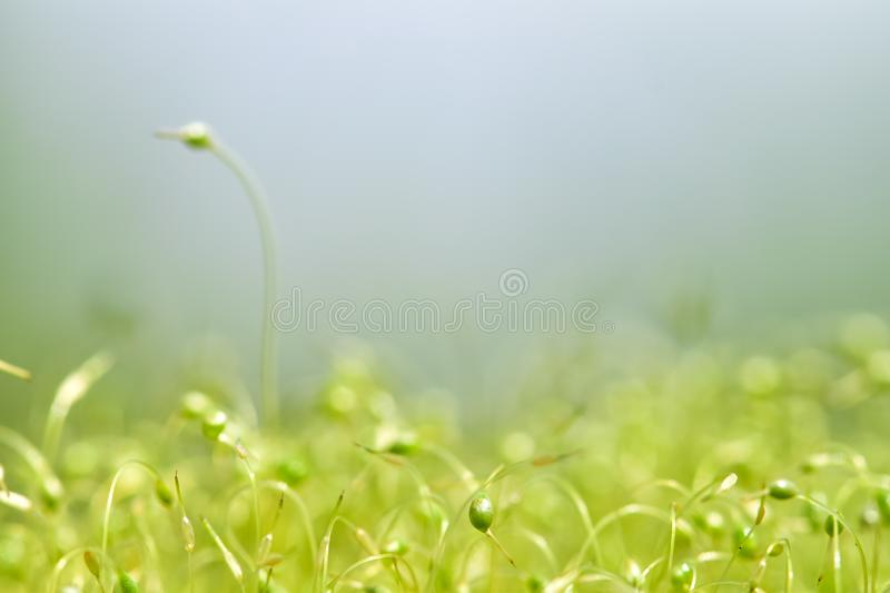 Soft focused close-up shot of green moss seeds with bokeh, blurred shining light royalty free stock photo