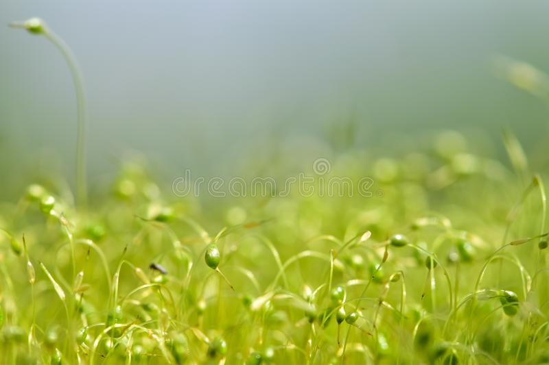 Soft focused close-up shot of green moss seeds with bokeh, blurred shining light royalty free stock images
