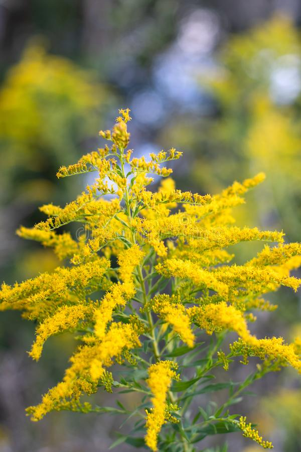 Soft Focused Goldenrod in the Woods obrazy stock