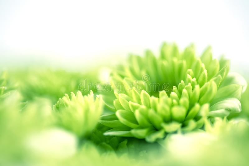 Soft fresh green flower for love romantic dreamy background , f stock photo