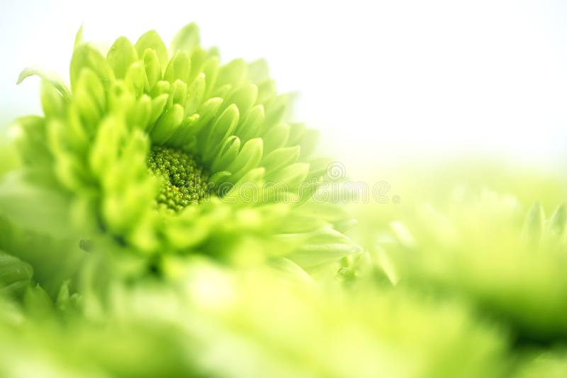 Soft fresh green flower for love romantic dreamy background , f royalty free stock images