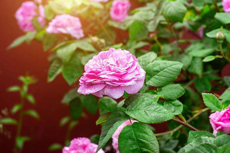 Soft fresh light pink rose flowers on bright green leaves background in the garden in spring on a sunny day. stock photos