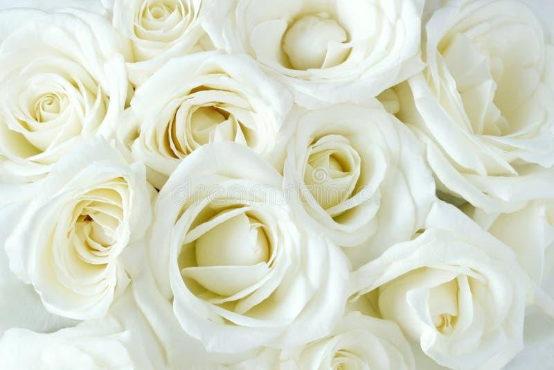 Soft full blown white roses stock photos