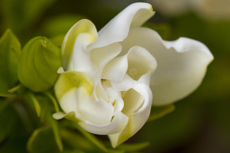 Soft Gardenia royalty free stock images