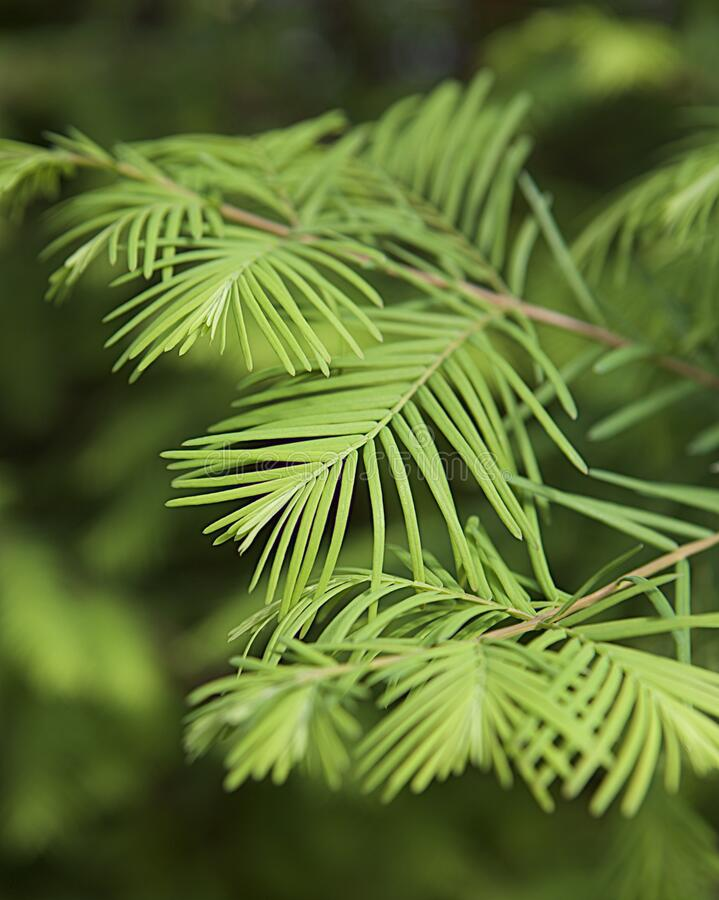 Soft and Green, Pine Branch Back Drop royalty free stock image