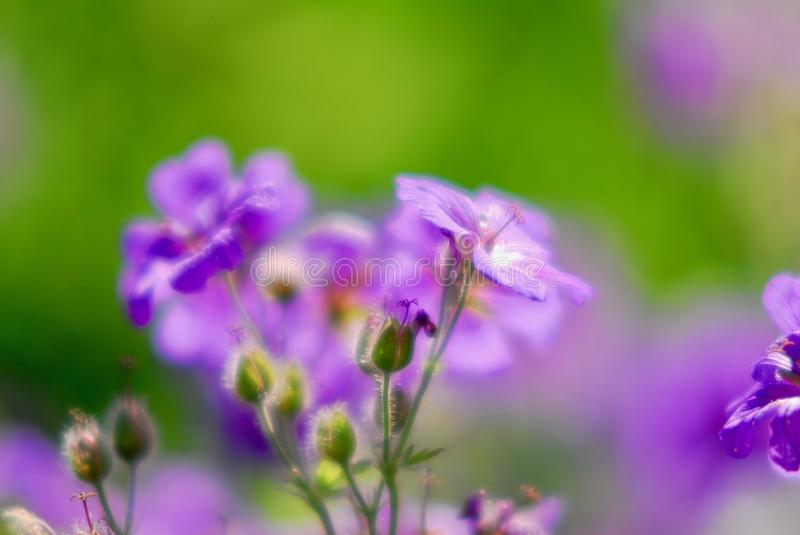 Violet flax flwoer royalty free stock images