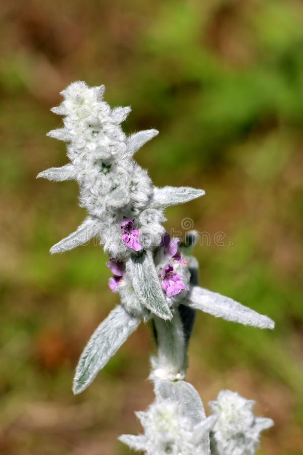 Soft Lambs ear or Stachys byzantina ornamental plant with spike like stems and thick leaves densely covered on both sides with. Soft Lambs ear or Stachys royalty free stock images