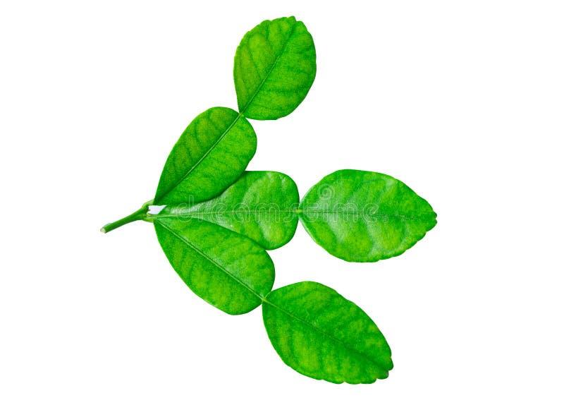 Soft Leaf of Kaffir lime bergamot  isolated stock images