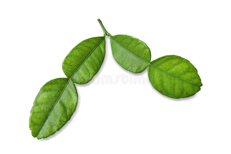 Soft Leaf of Kaffir lime bergamot  isolated on white background. stock images