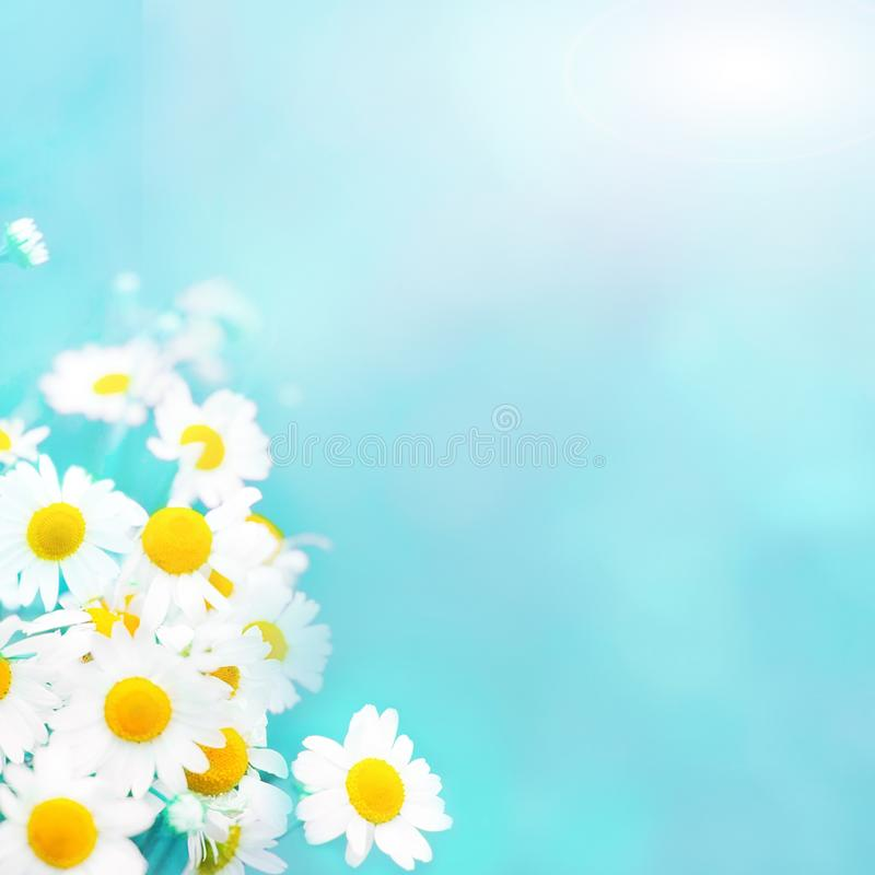 Soft light blue summer background with chamomile flowers stock photo