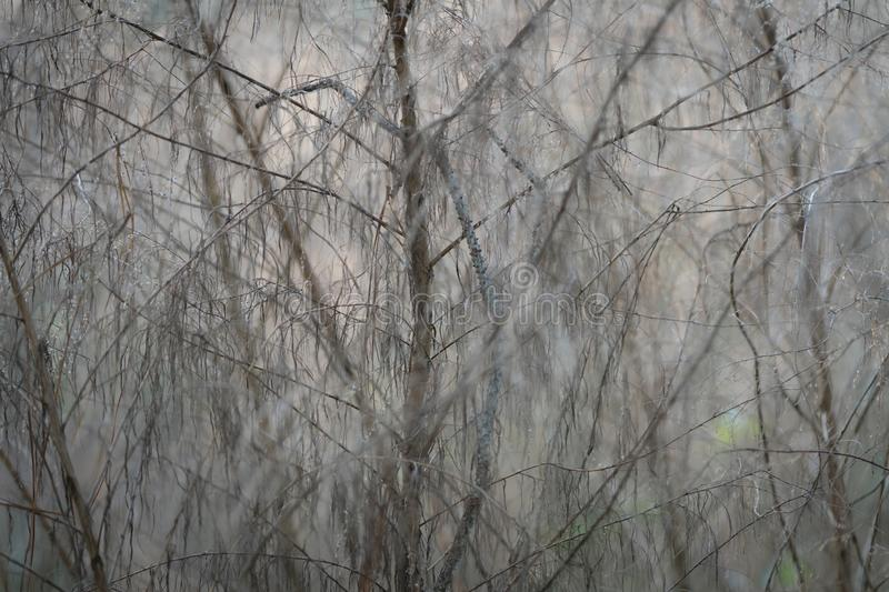 Moody foggy background of trees in the woods at dawn. Soft light cast on to trees in the woods in the morning royalty free stock photography