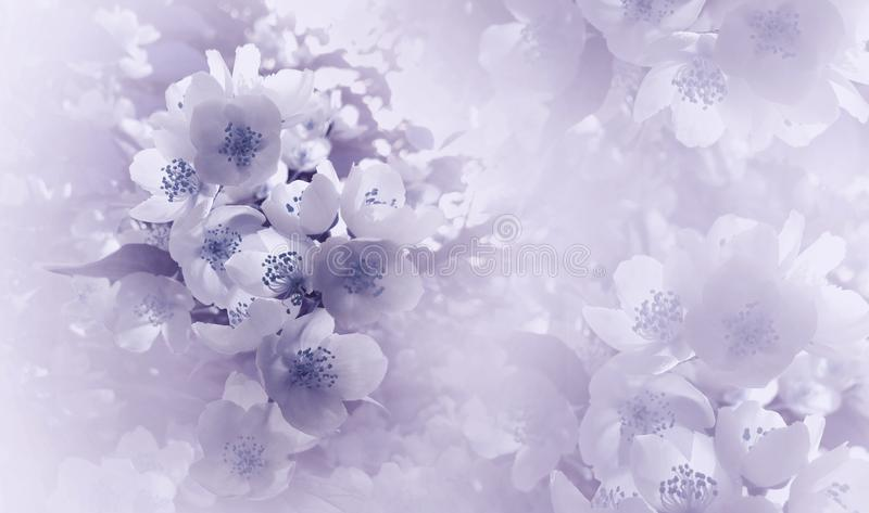 Soft light violet-blue floral background. Flowers of a cherry on a pink-white halftone background. Close-up. Greeting card. stock photos