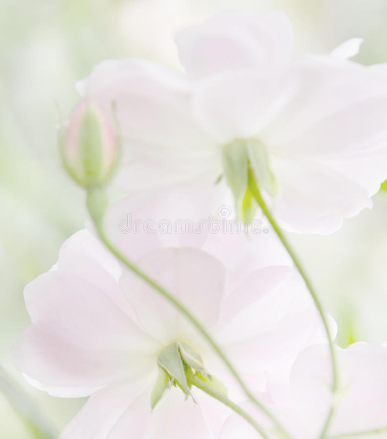 Soft pastel heirloom roses royalty free stock photography