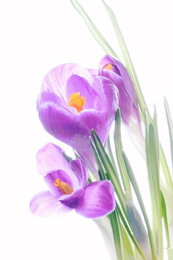 Soft pastels. Soft pastel violet crocus flowers against a white background stock image
