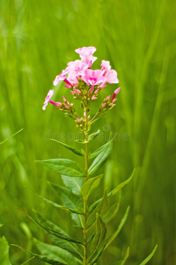 Soft phlox stock images