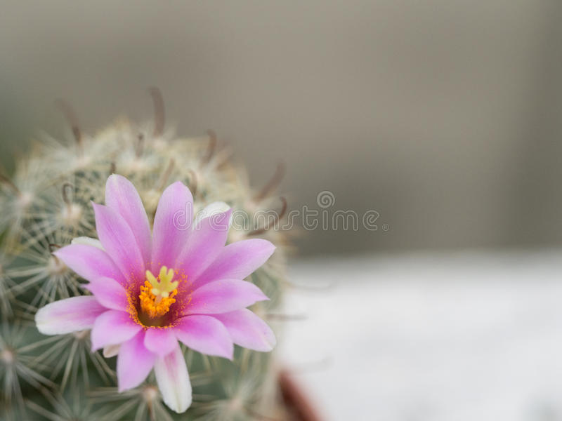 Soft pink cactus flower on the gray background royalty free stock photo