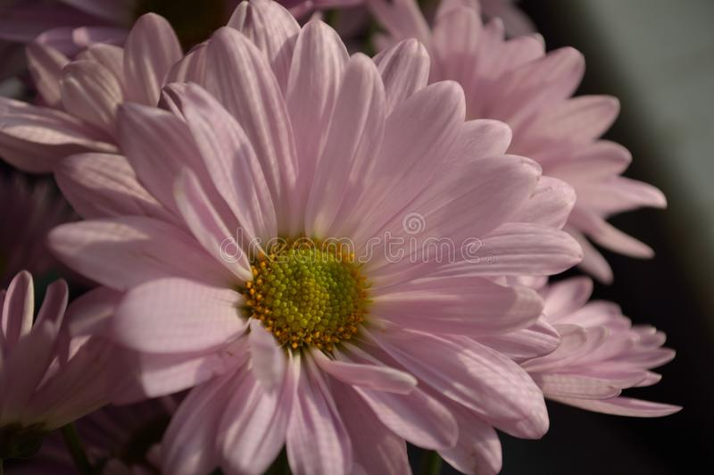 Download Soft Pink Daisies stock image. Image of petals, vase - 81127335