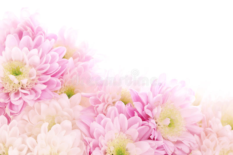 Soft pink daisy stock image