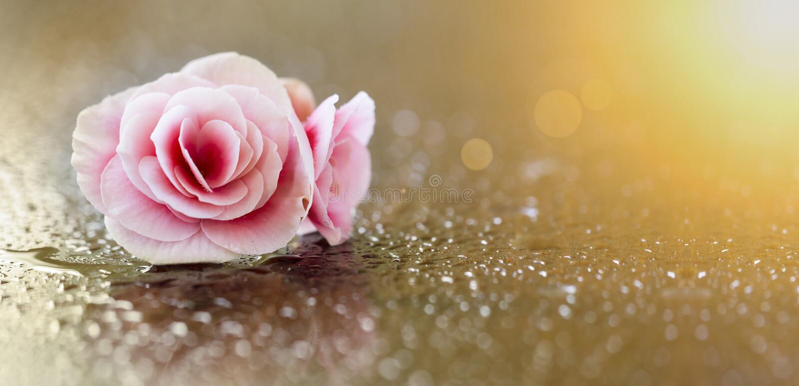 Soft pink flower banner. Website banner of a soft pink flower with water drops stock photos