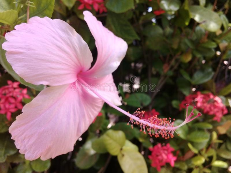 Soft pink hibiscus in a garden. With green leafs behind stock photos