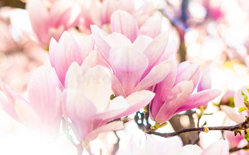 Pink Magnolia Flower. Soft and pink magnolia flower on beautiful background stock photos