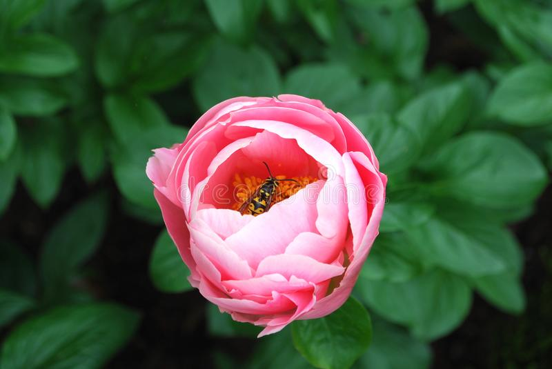 Soft Pink Peony Flower with a pollinator insect present. Soft Pink Peony Flower with a pollinator insect in the center present stock image