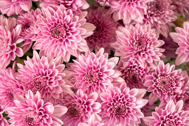 Soft pink purple Chrysanthemum flowers nature abstract background stock image