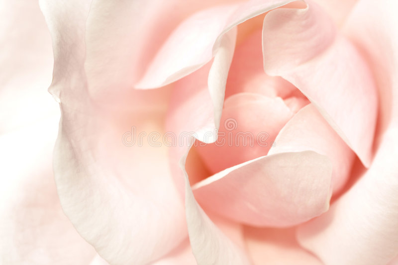 Download Soft pink rose stock photo. Image of recreation, fresh - 6946394