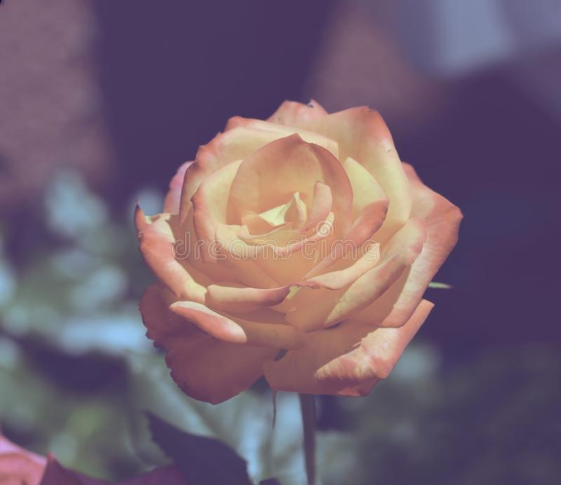 Soft pink rose. Blooming in the garden stock images