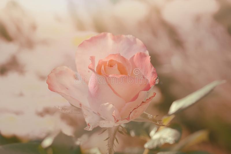Beautiful pink rose. Soft pink rose in the garden royalty free stock images